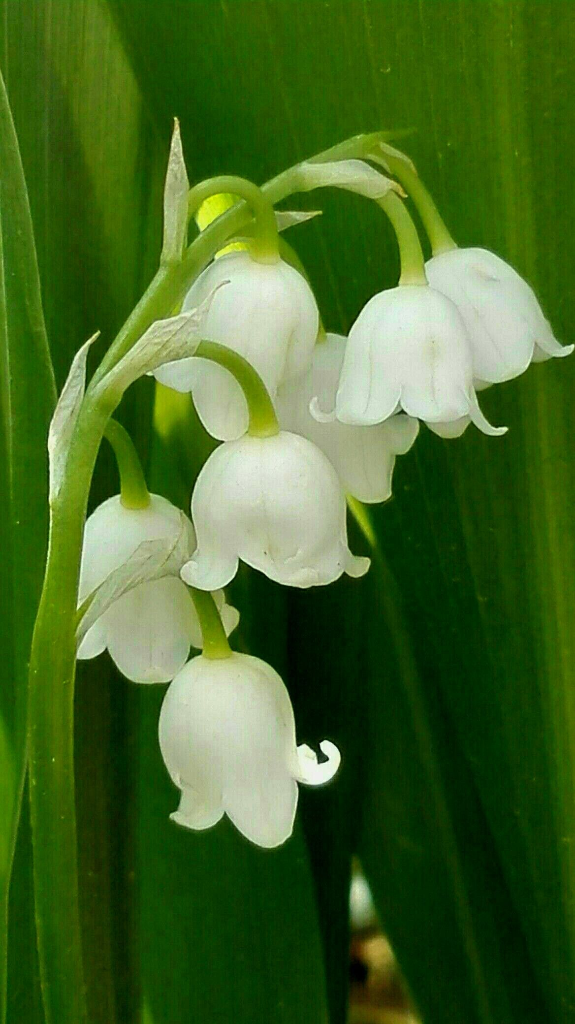 Lily Of The Valley Naturaleza Pinterest Flowers Beautiful