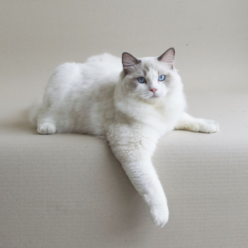CFA TICA ragdoll breeder in Singapore Malaysia Thailand Indonesia