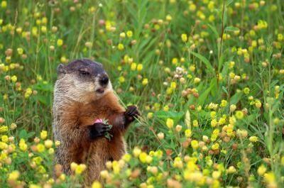 Homemade Groundhog Repellent Get Rid Of Groundhogs Groundhog Repellant Groundhog