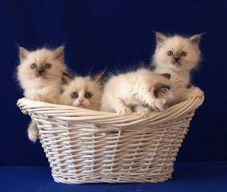 Basket Of Kittens Kittens Cats And Kittens Kitten