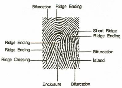 Fp4 Forensic Science Fingerprint Worksheet. Fp4. Best Free