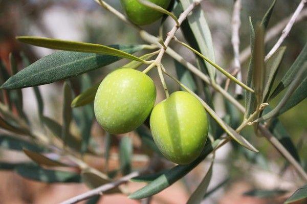 La Aceituna. Propiedades de la Fruta del Olivo | MI MEDICO NATURAL