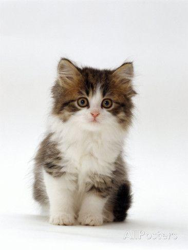 Domestic Cat 7 Week Tabby And White Persian Cross Kitten