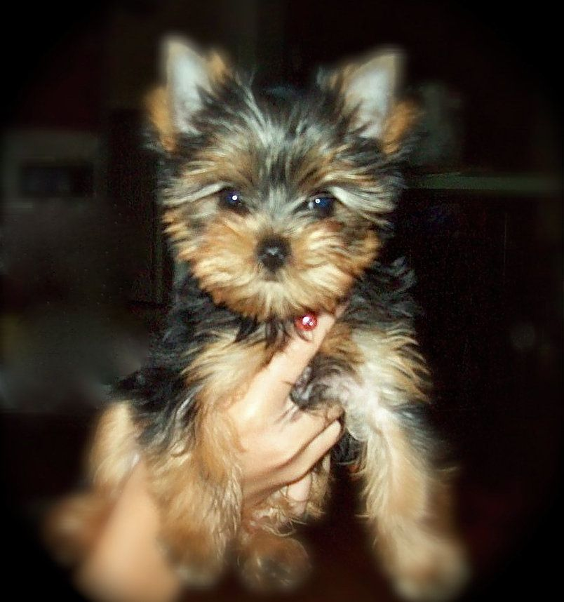 Yorkie Breeder In Tennessee Teacup Yorkies For Sale Parti Yorkie
