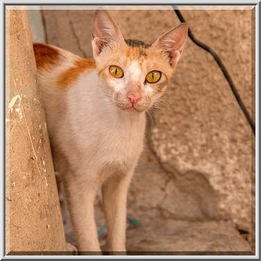 Arabian Mau Cat On Al Mughira Bin Shuba St In Doha Taken By A Sergeev Cat Breeds Cats Animals