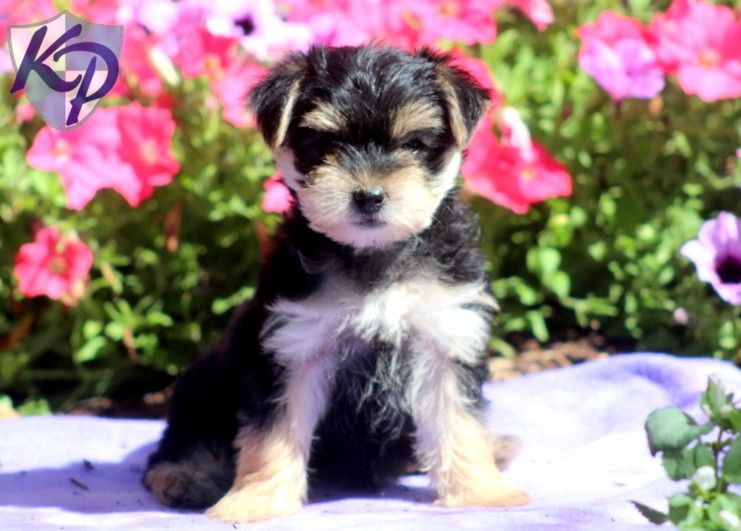 Puppy Finder Find Buy A Dog Today By Using Our Petfinder Morkie Puppies Puppies Puppy Finder