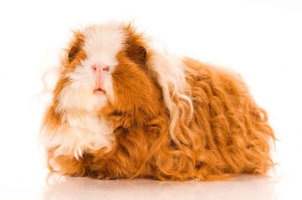 10 Unusual & Charming Breeds of Guinea Pigs | Pets4Homes
