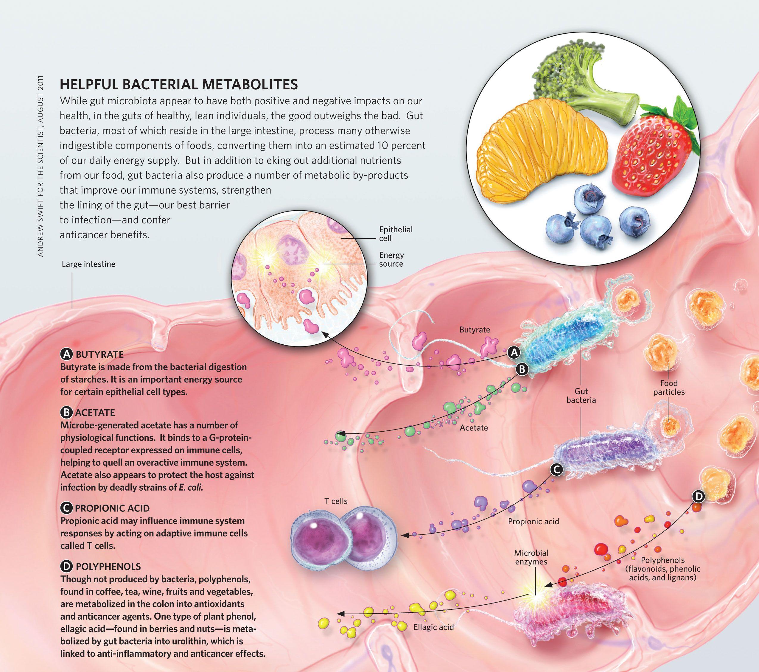 Helpful Bacterial Metabolites