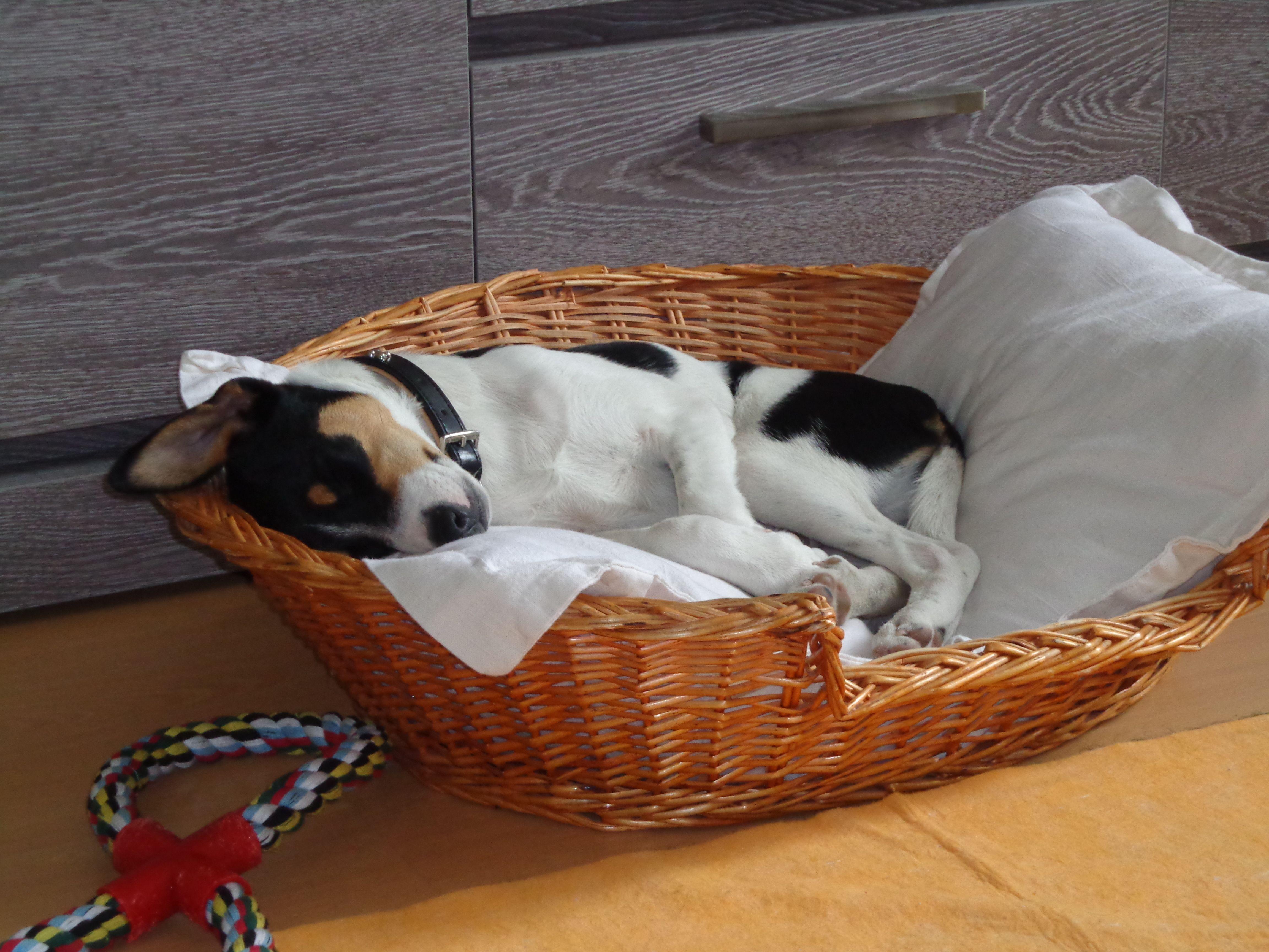 Mac Fox Terrier   Pawshake