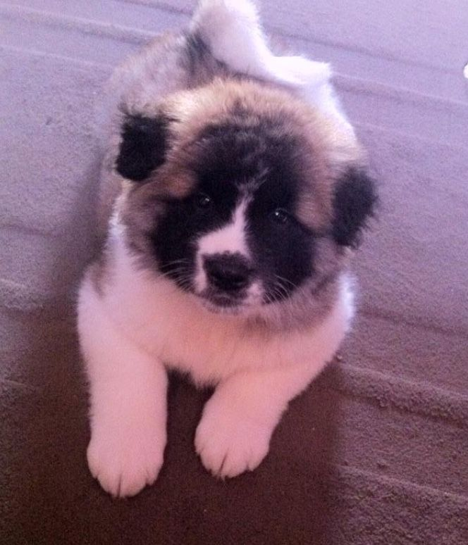 Pin By Jenny On Animals Japanese Akita Japanese Dogs American