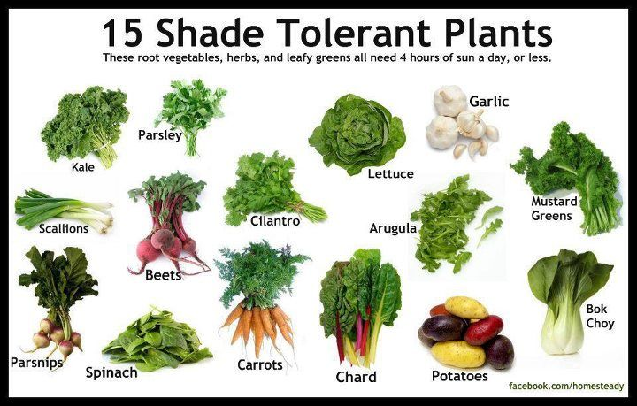 15 Shade Tolerant Plants These Root Vegetables Herbs And Leafy Greens Ask Need 4 Hours Of Sun A Day Or Less Shade Tolerant Plants Growing Vegetables Plants