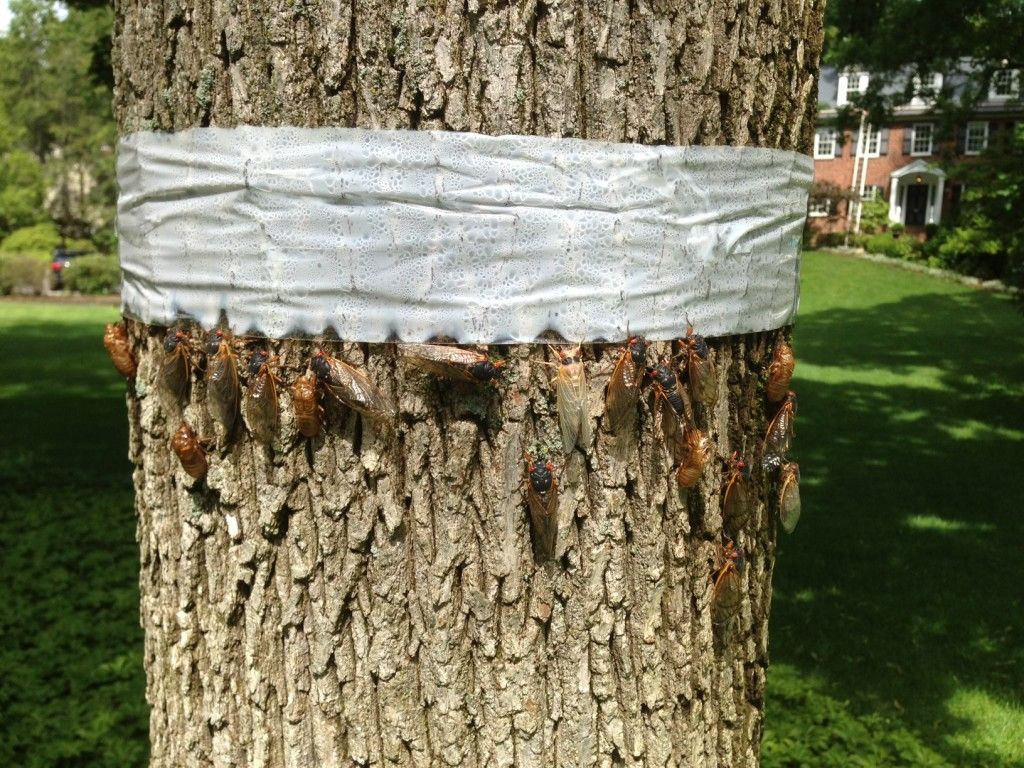 We Can Take Care Of Your Cicadas. - http://www.plantsolutionsnj.com/we-can-take-care-of-your-cicadas/