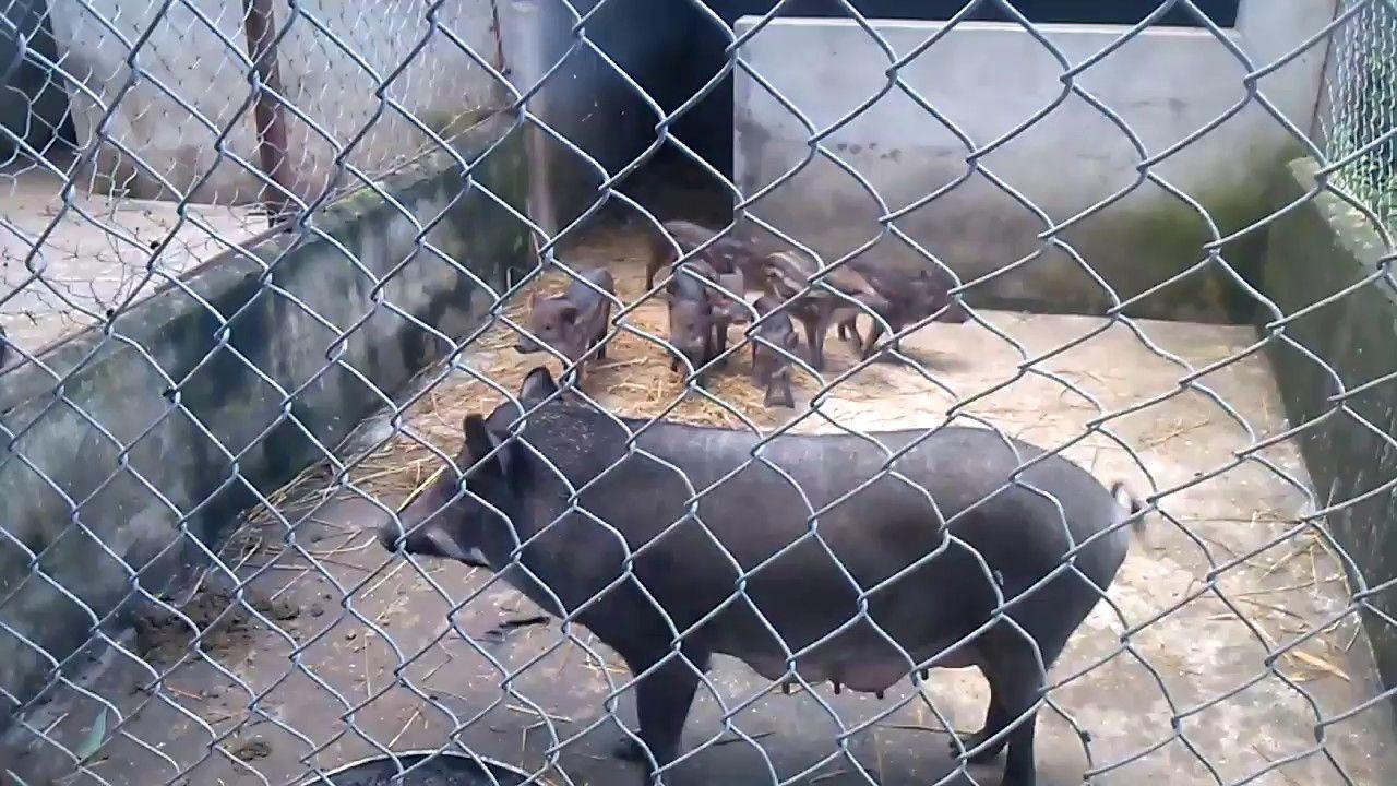 kỹ thuật làm chuồng nuôi lợn rừng quy mô hộ gia đình cực đẹp -  bồ câu h...