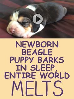 Newborn Beagle Puppy Barks In Sleep Entire World Melts Beagle