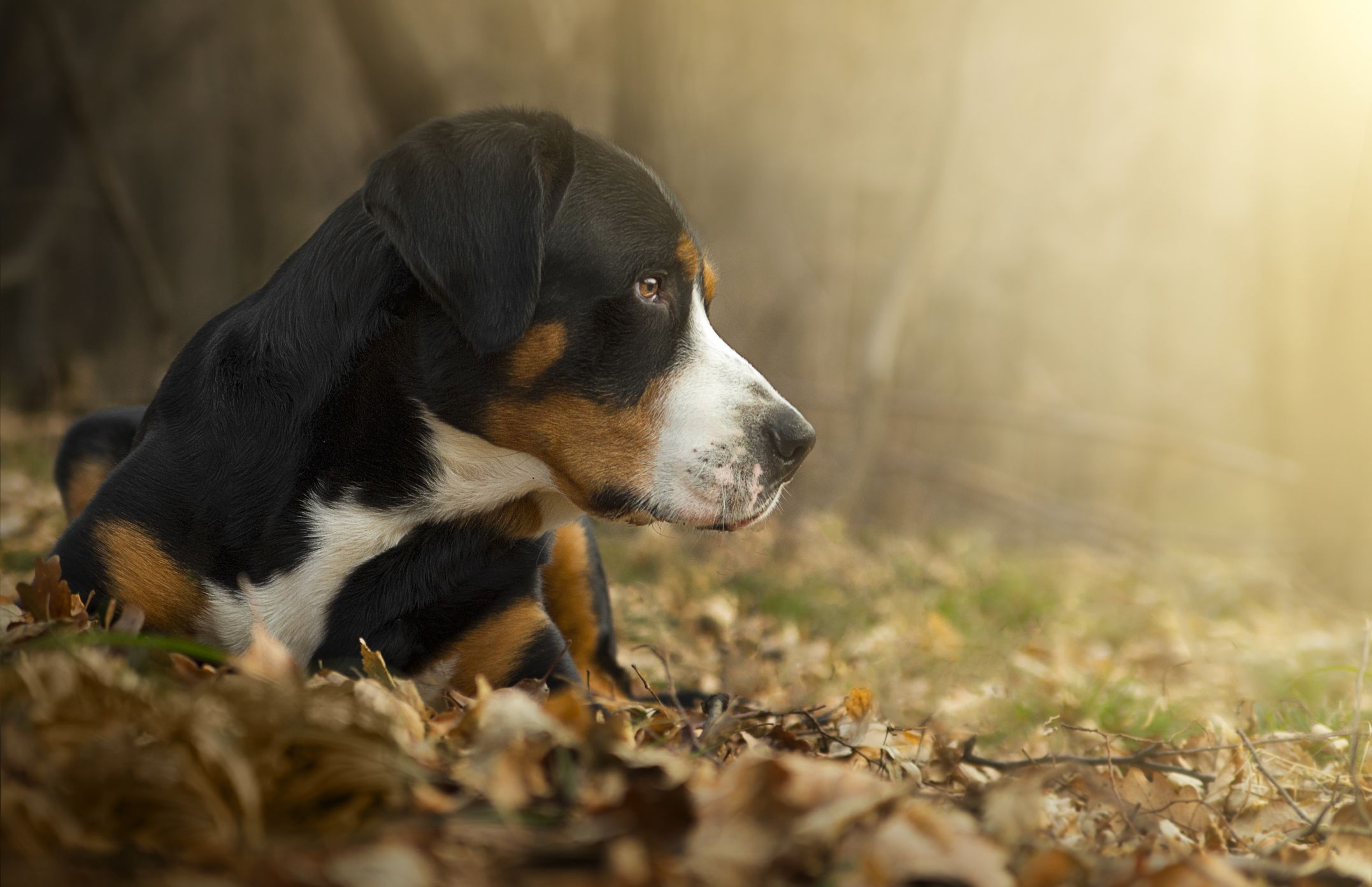 Greater Swiss Mountain Dog Swissys Full Profile History