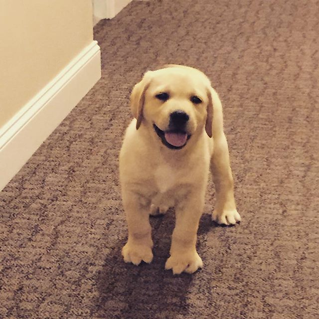 A warm welcome home from this furry Lab puppy is always the cutest, best thing to come home to.