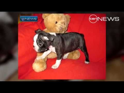 Pin On Boston Terrier News