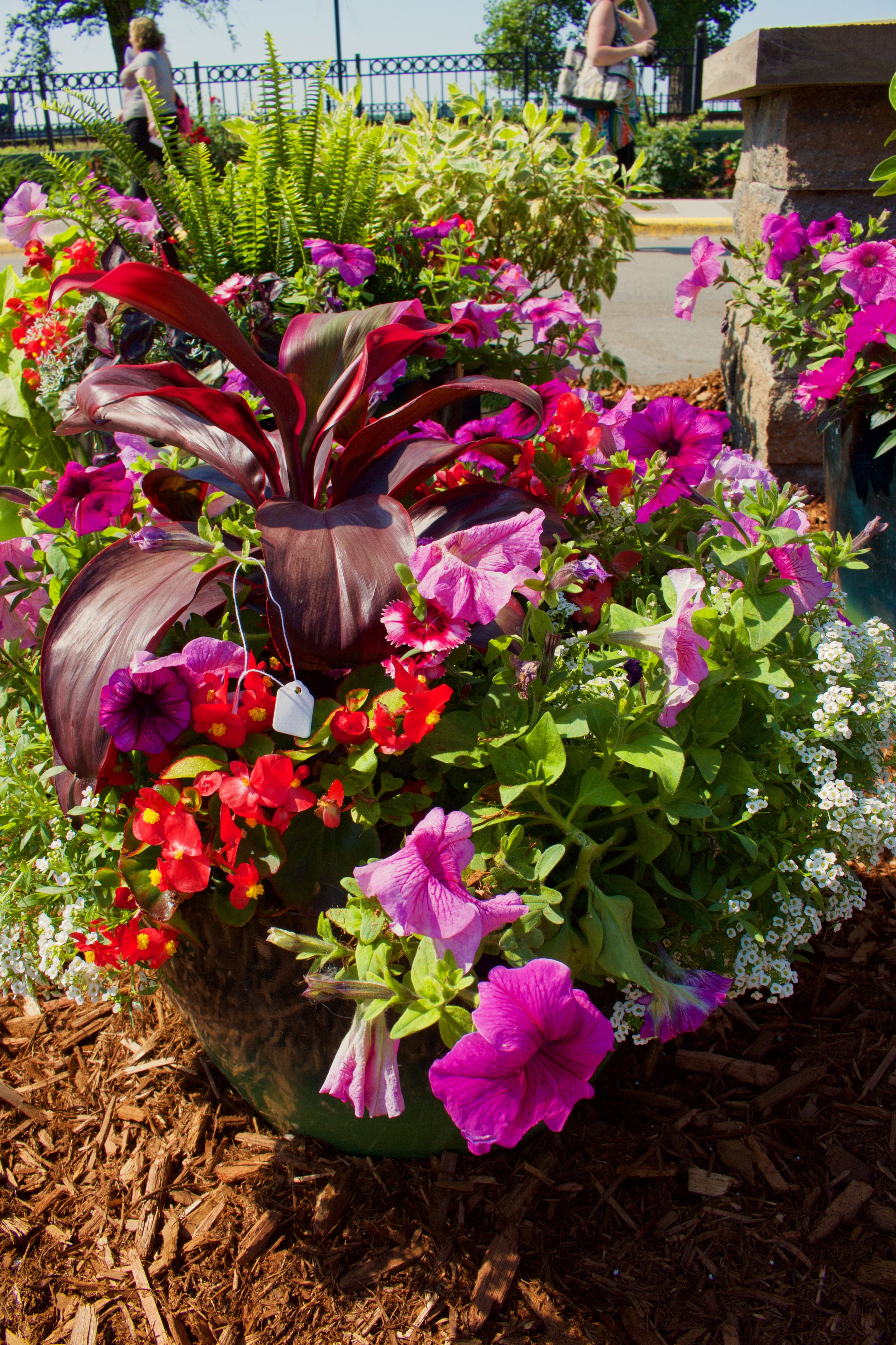 Pink Petunias And Red Begonia Compliment The Cordyline Center Plant