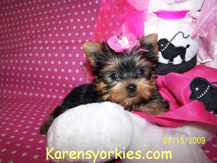 Teacup Yorkie Puppy For Sale In Colorado Springsco Teacup Yorkie