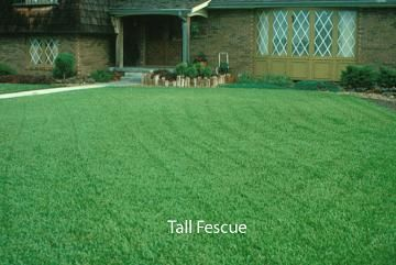 Category Tall Fescue Tall Fescue Fescue Lawn Fescue Grass Lawn