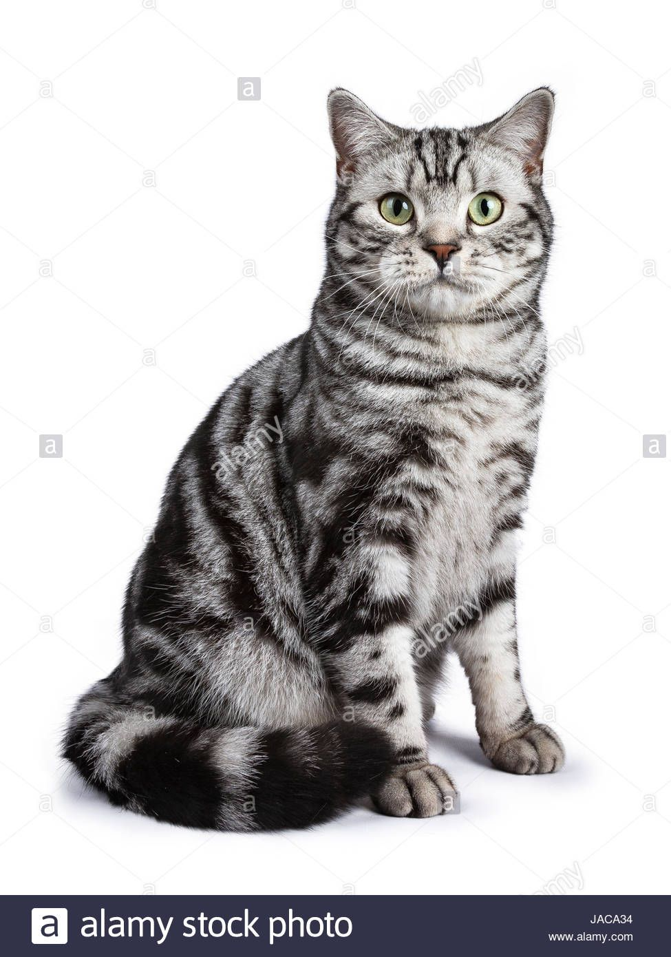 Black Tabby British Shorthair Cat British Shorthair Cats British Shorthair Tabby