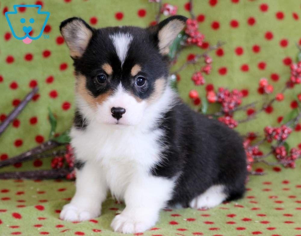 Lexi Corgi Puppies For Sale Welsh Corgi Puppies Pembroke Welsh Corgi Puppies