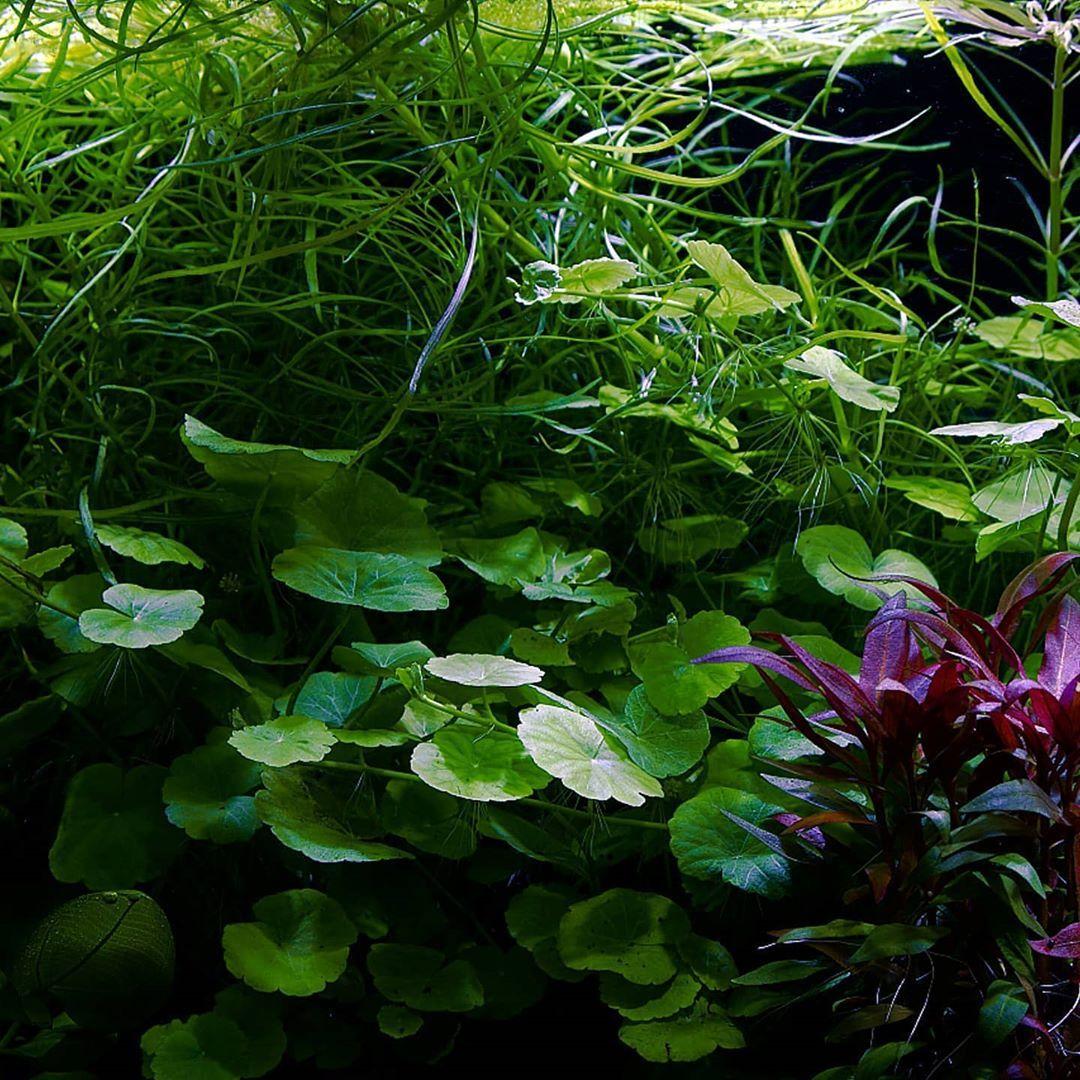 #acquatica #plants #aquariumplants #shopping #roslinyakwariowe #akwarystyka #aquarium #professional #poznan #akwarium #sklepzoologiczny #fishwater #poznań #water #watergarden #garden #poland #polska #kocham #love #instagood #beautiful #instalike #photography #photo #fujifilm  #fujifilmxt30  #hydrocotyle