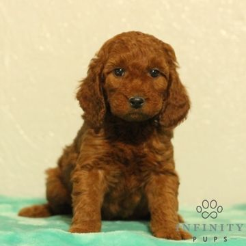 Irish Setter Poodle Miniature Mix Puppy For Sale In Gap