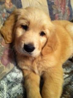 Golden Retriever Puppies Retriever Puppy Golden Retriever Dogs