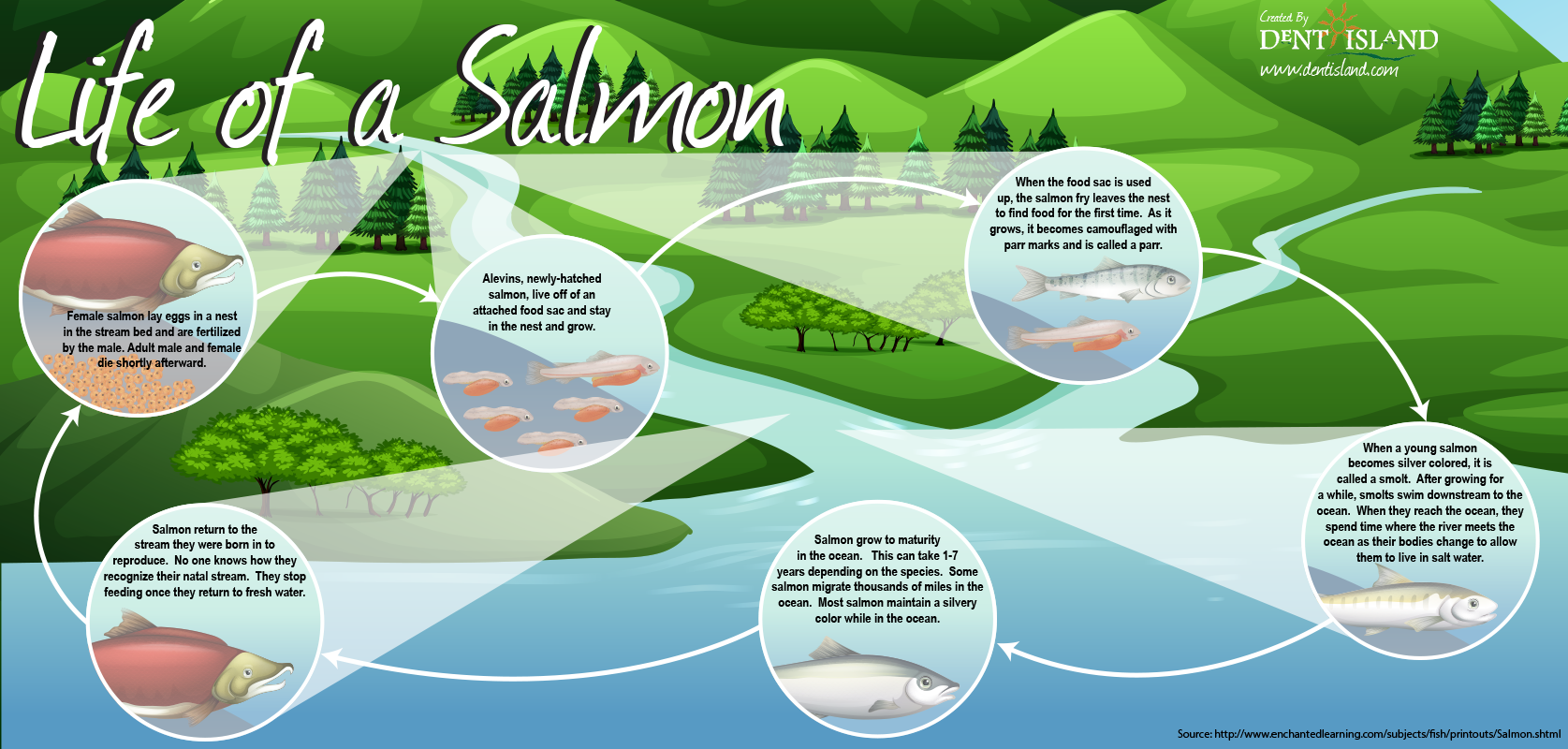 Salmon Life Cycle Poster