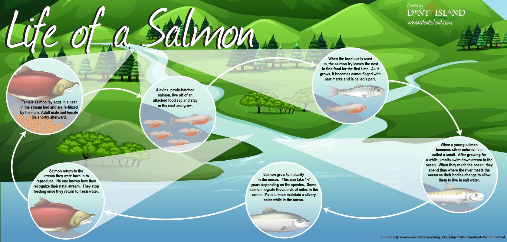 Salmon Life Cycle Poster