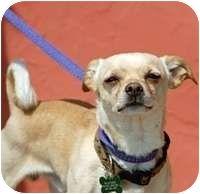 Denver Co Chihuahua Mix Meet Faust A Dog For Adoption No