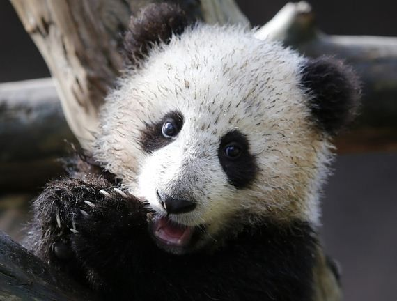 Most Adorable Baby Animals   Cute Giant Panda Cub