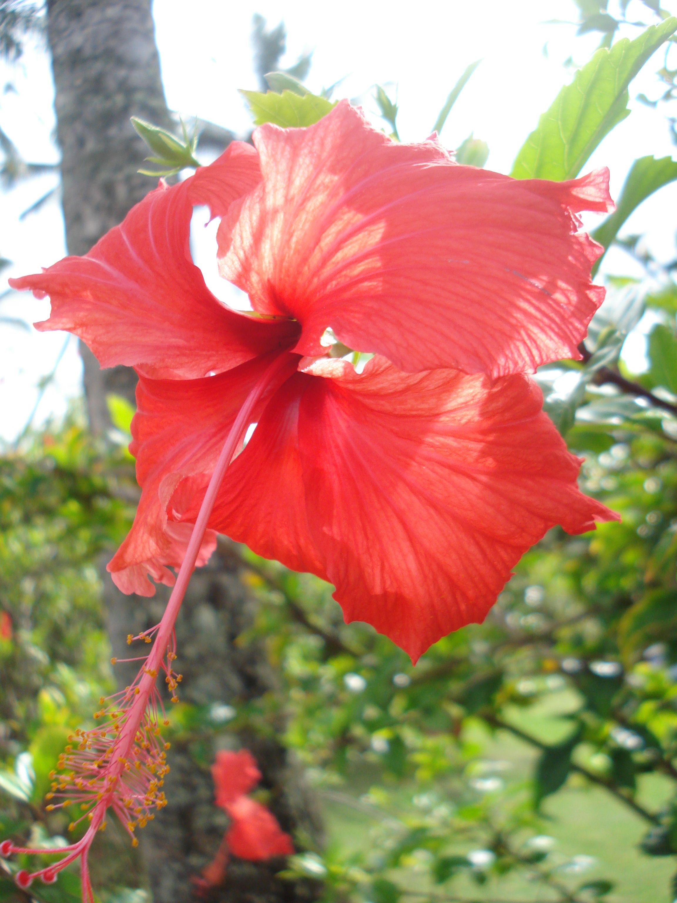 Pin By Kristin Brink On Love Flowers Pinterest Hawaii Hawaii