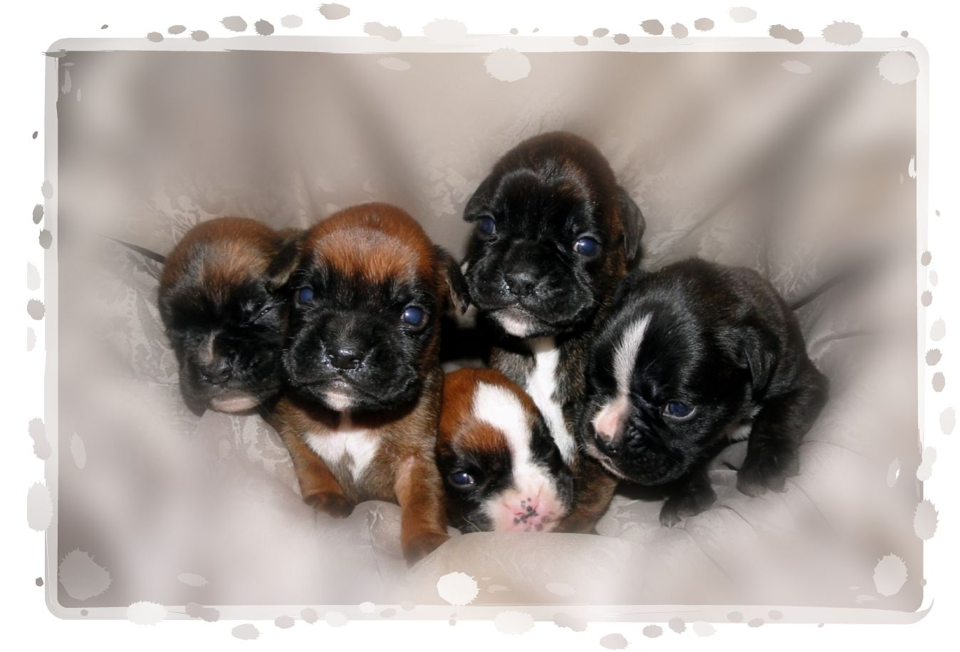 Boxer Puppies Boxer puppies, Boxer dogs, Boxer puppies
