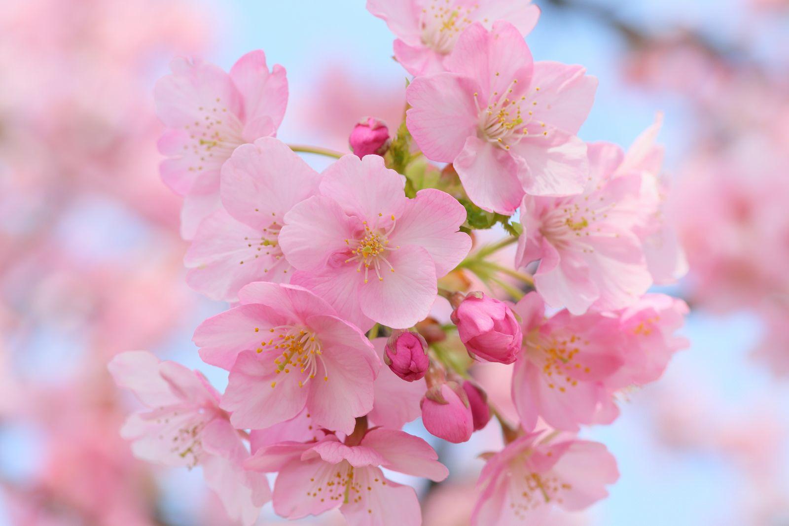 Cherry Blossoms Cherry Blossom Wallpaper Pink Blossom Flowers