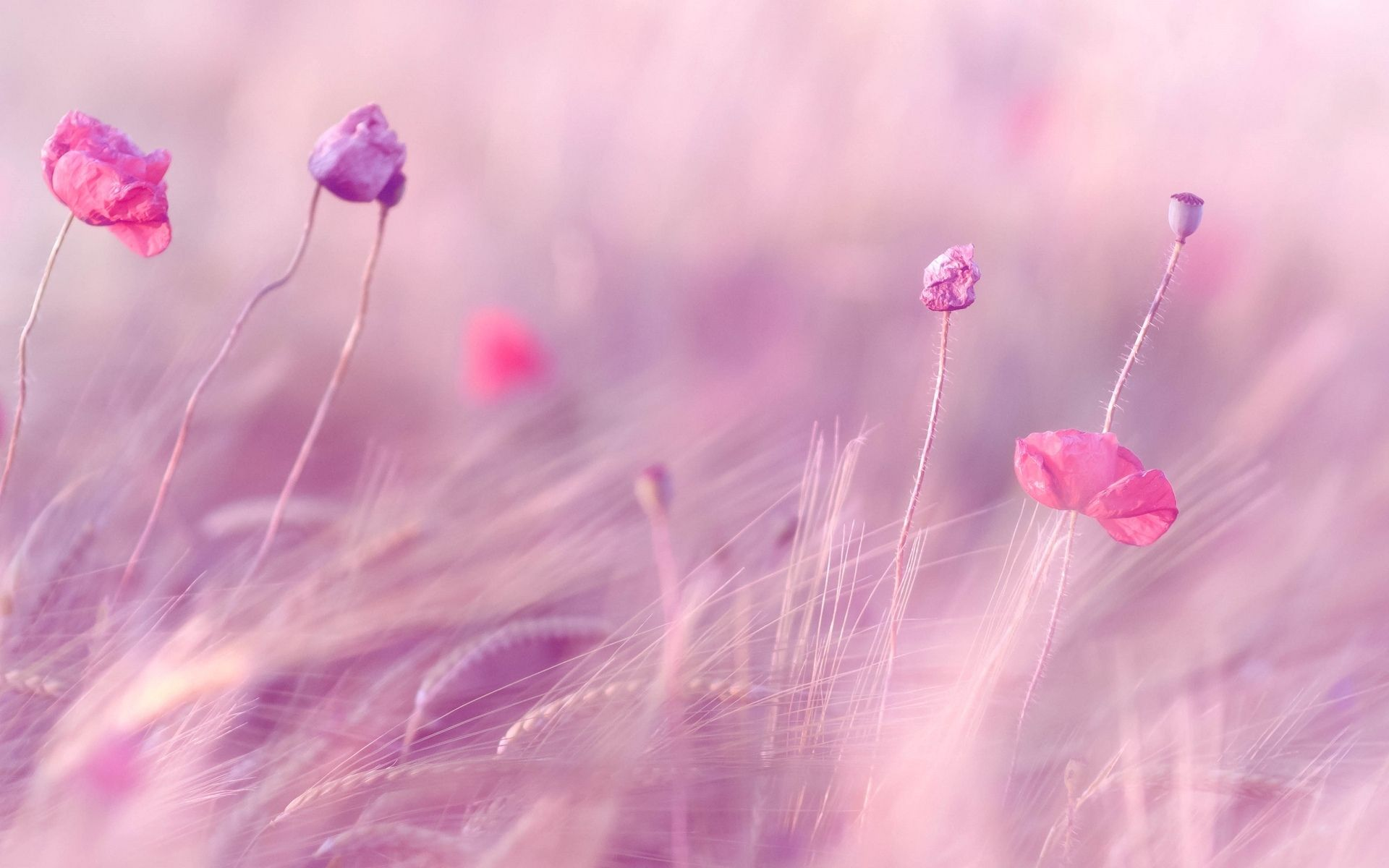 Pink Purple Flower Fields Download Pink Purple Flowers Field