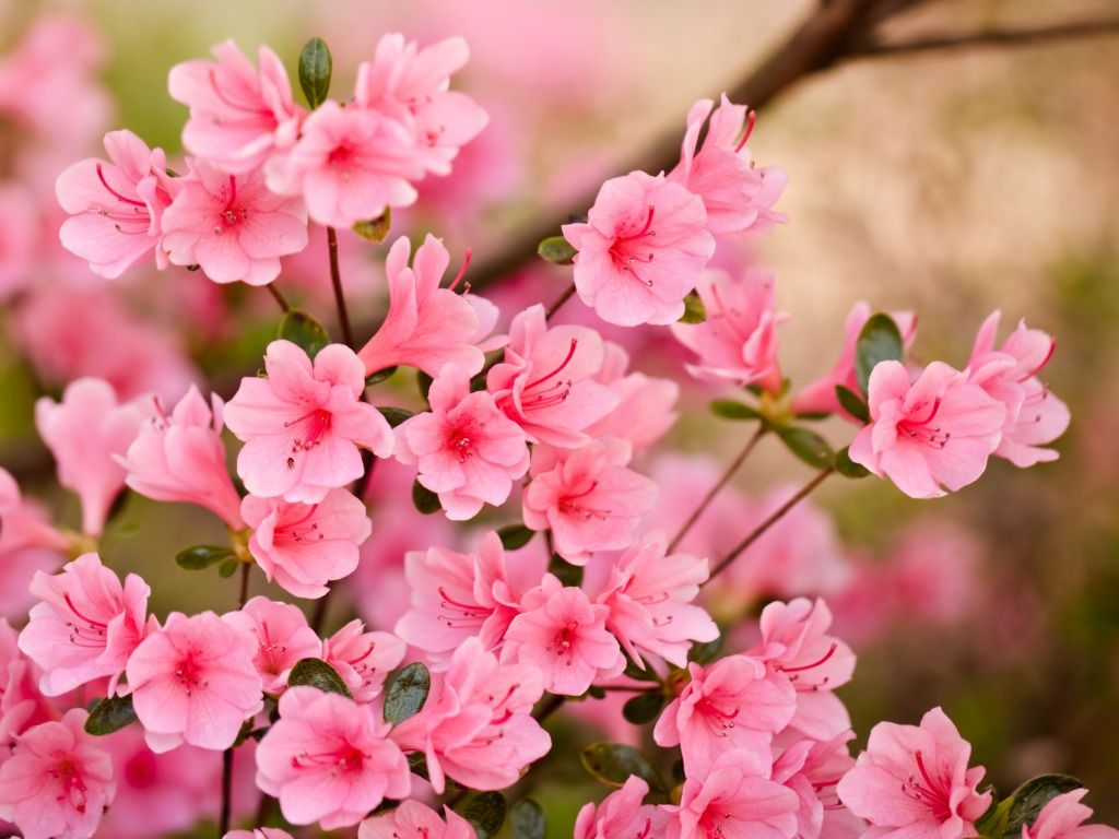 Spring Flowers Wallpapers High Definition Pink Flowers Wallpaper Spring Flowers Wallpaper Azalea Flower