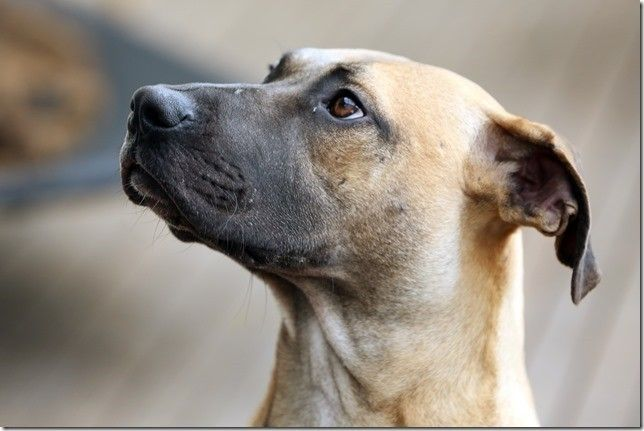 Ridgeback X Mastiff X Kelpie Mix Dogs Rescue Dogs Mastiffs