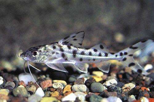Pimelodella Catfish 2 Whiskers Spots Pet Fish Catfish Freshwater Catfish
