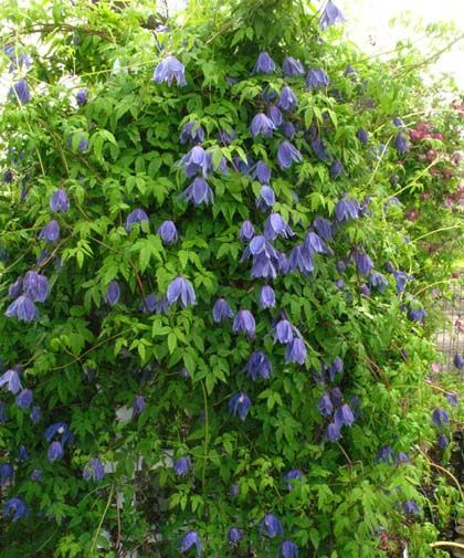 Clematis alpina Frances Rivis=Syn. Blue Giant - Friedrich M ...
