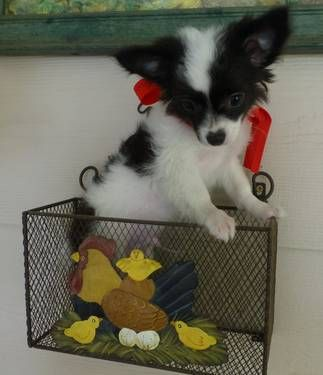 Beautiful Black White Long Hair Chihuahua Male Puppy Chihuahua