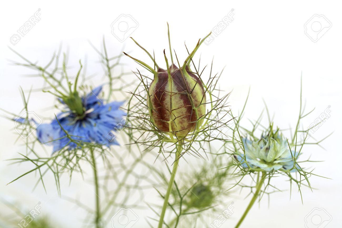 Love In The Mist Nigella Damascena Flowers And Seed Capsule In 2020 Seed Capsule Nigella Flowers