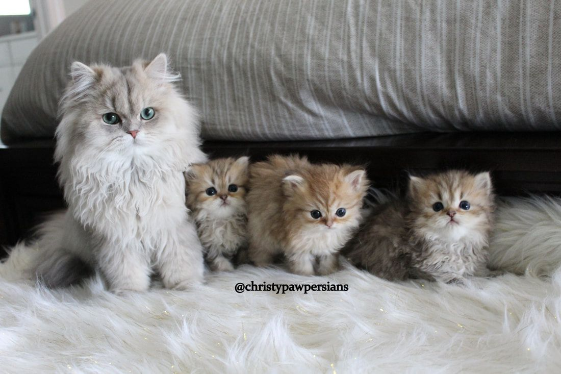 2019 Chinchilla Silver Shaded Silver Golden Persian Kittens For Sale In Missouri Persian Kittens Persian Kittens For Sale Kitten Breeds