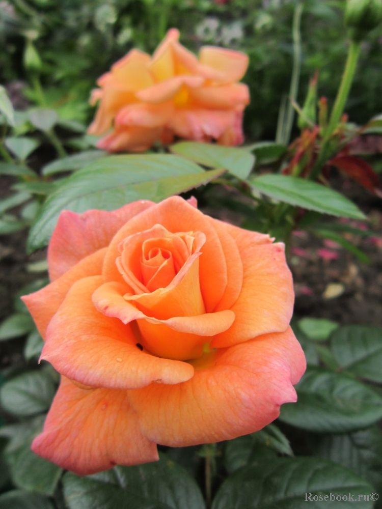 32 Flower Toe Nail Designs: Floribunda Rose 'Peace Keeper', Harkness,1994
