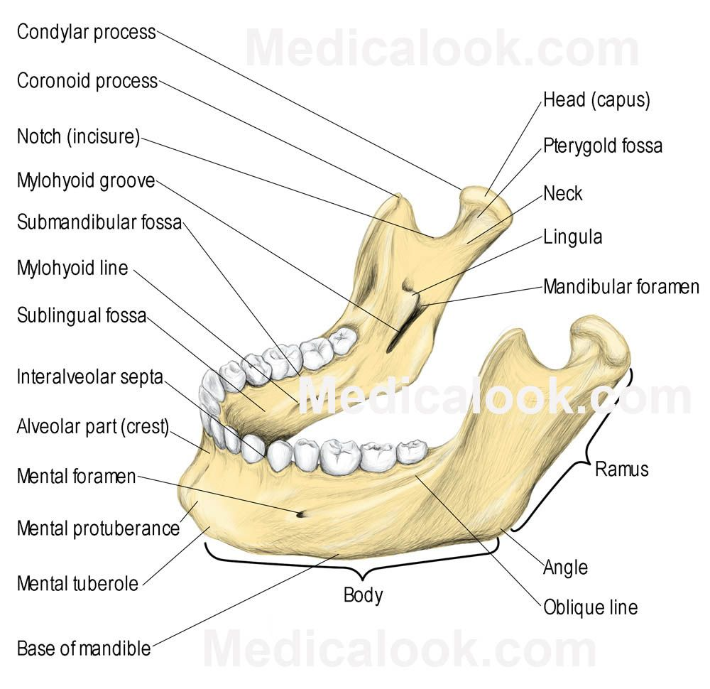 Give Mental Block In The Mental Foramen Mandible Mandible Diagram