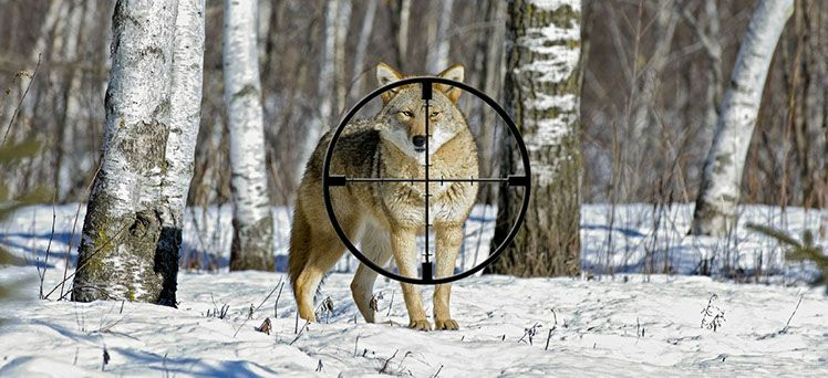97f5dedaa4db7 Free Coyote Hunting Guide   Outdoors   Coyote hunting, Coyote ...