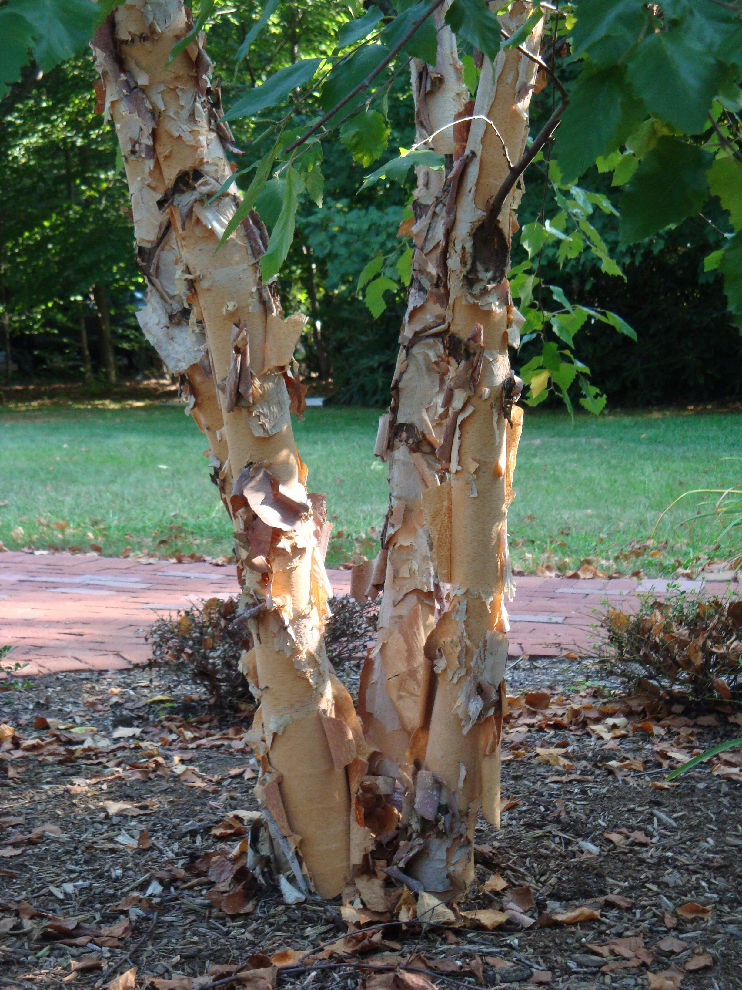 Multi Trunk River Birch Betula Nigra Rocky Dale Nursery One Of