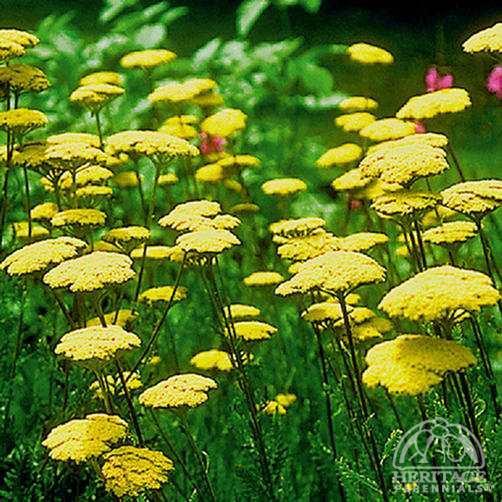 Fern Leaf Yarrow Google Search In 2020 Achillea Drought Tolerant Perennials Perennials