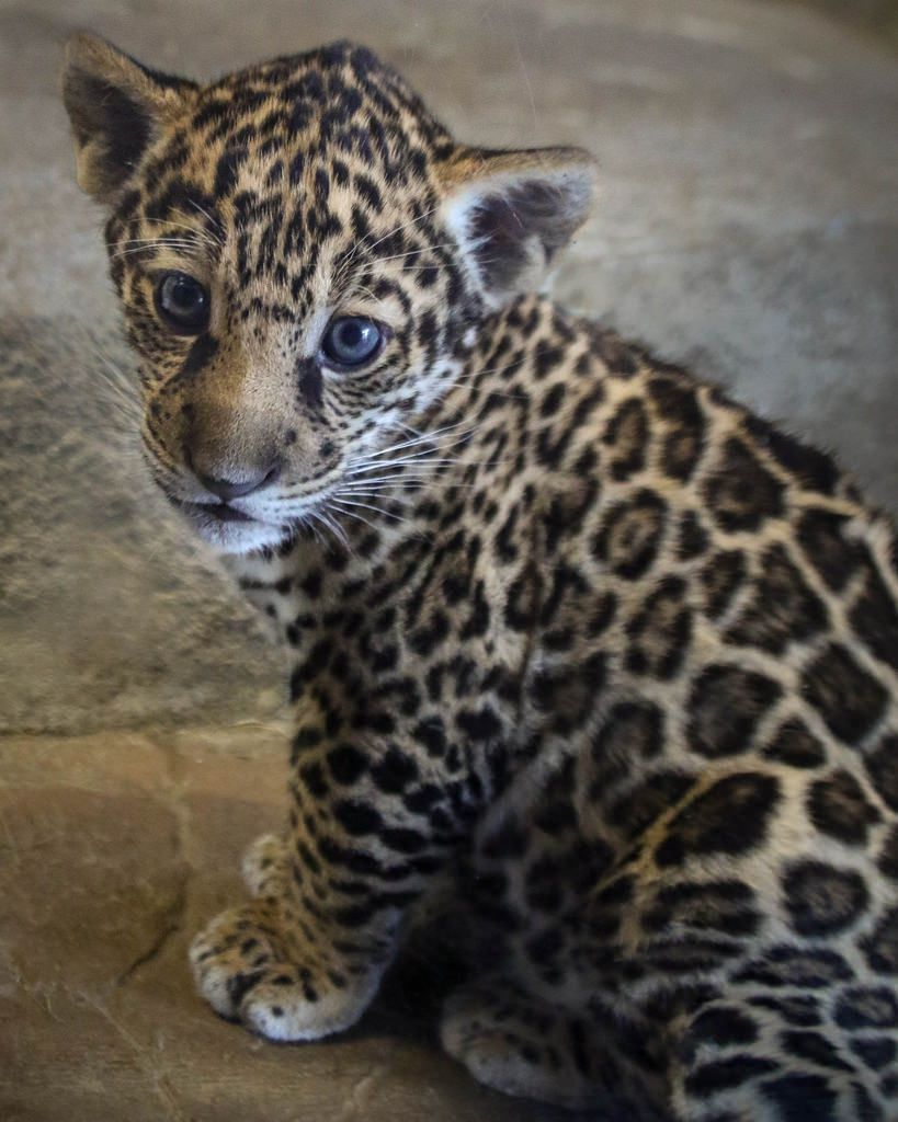 Could I Be Any Cuter? | Valerio the jaguar cub at the San Diego Zoo (pic by Penny Hyde)